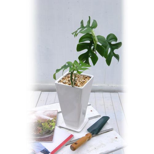 観葉植物「ヒメモンステラ」