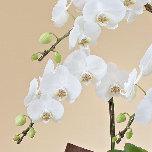 ミディ胡蝶蘭(ホワイト)3本立ち