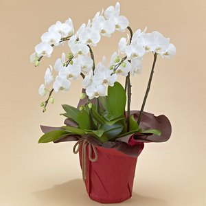 ミディ胡蝶蘭(ホワイト)5本立ち