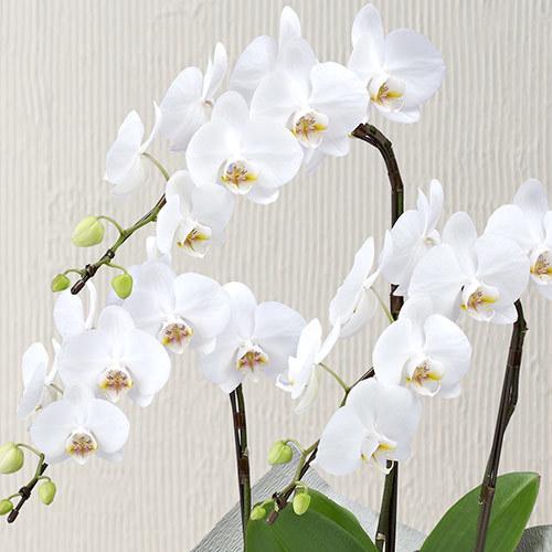 【お供え用】ミディ胡蝶蘭(ホワイト)3本立ち