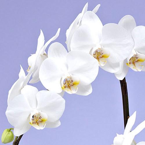 【お供え用】ミディ胡蝶蘭(ホワイト)5本立ち