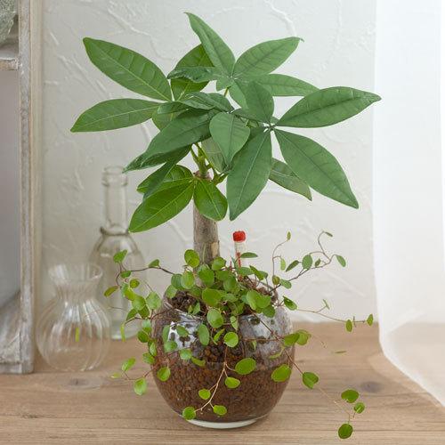 お手入れかんたん観葉植物「パキラ&ミューレンベキア」