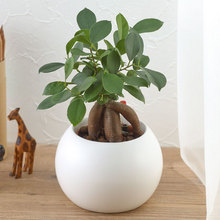 お手入れかんたん観葉植物「人参ガジュマル(ホワイト)」