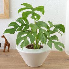 お手入れかんたん観葉植物「ヒメモンステラ(ホワイト)」