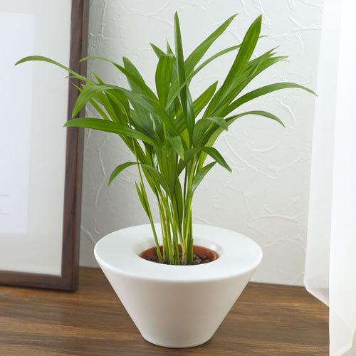 お手入れかんたん観葉植物「アレカヤシ(ホワイト)」