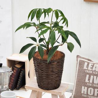 観葉植物「ツピタンサス・バスケット」