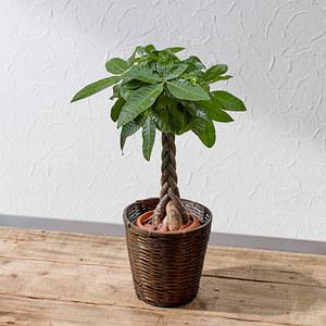 観葉植物「パキラ(M)・バスケット」
