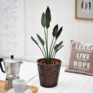 観葉植物「レギネ・バスケット」