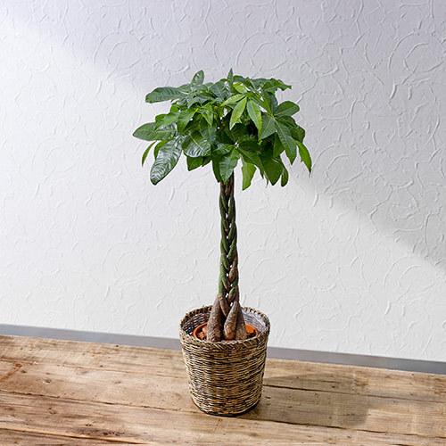 観葉植物「パキラ(L)・バスケット」