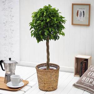 観葉植物「ベンジャミン・バスケット」
