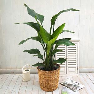 観葉植物「オーガスタ・バスケット」