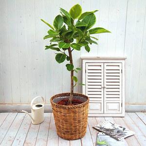 観葉植物「アルテシマゴム・バスケット」