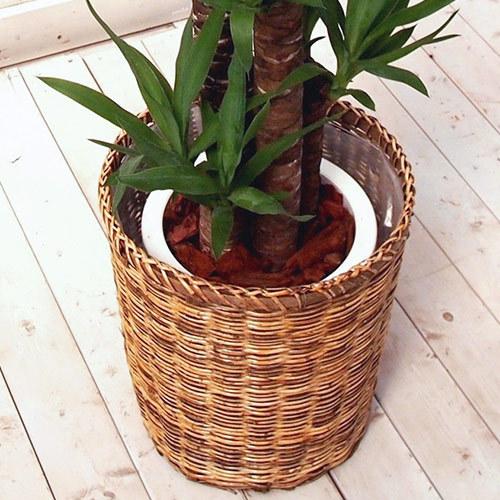 観葉植物「青年の木バスケット」