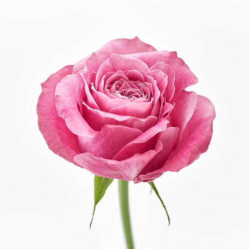 花束「品種指定バラ『オールフォーラブ』12本(ダズンローズ)」