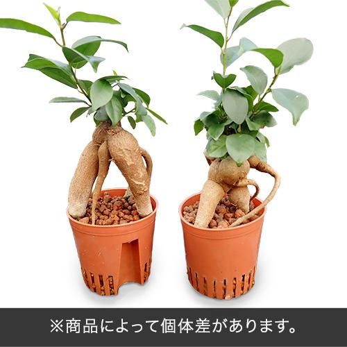 お手入れかんたん観葉植物「人参ガジュマル(スクエアホワイト)」