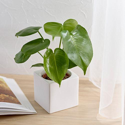 お手入れかんたん観葉植物「モンステラ(スクエアホワイト)」