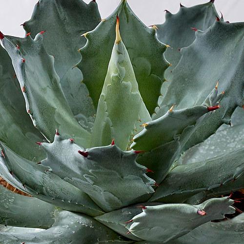 観葉植物「アガベ・ライジン」