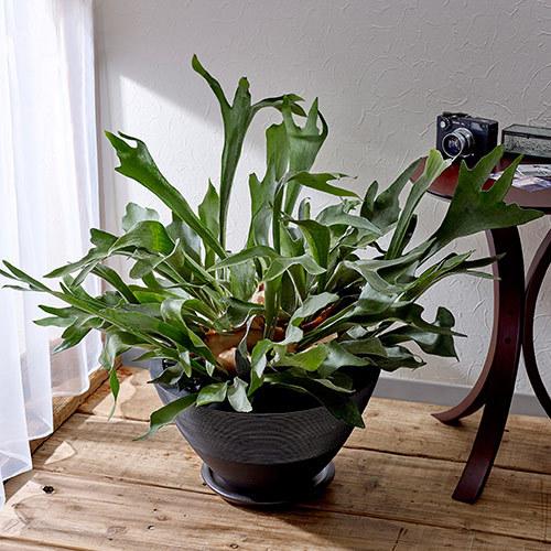 観葉植物「コウモリラン・ジャパネスク」