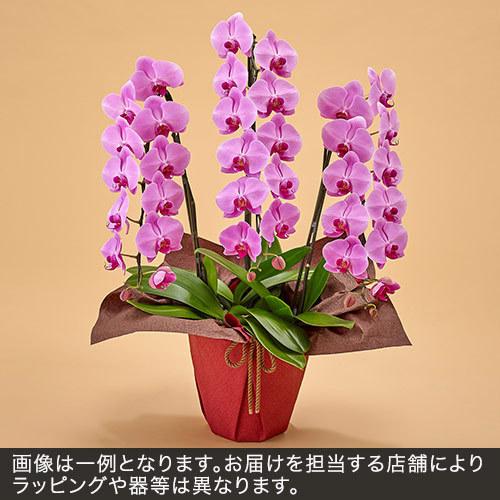 胡蝶蘭(ピンク)3本立ち 27〜30.輪以上(蕾含む)