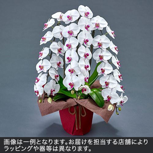 胡蝶蘭(赤リップ)3本立ち 36〜39輪以上(蕾含む)