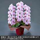 胡蝶蘭(ピンク)3本立ち 36〜39輪以上(蕾含む)