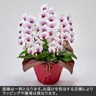 胡蝶蘭(赤リップ)5本立ち 35〜40輪以上(蕾含む)