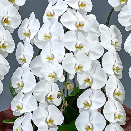 胡蝶蘭(白)5本立ち 50〜60輪以上(蕾含む)