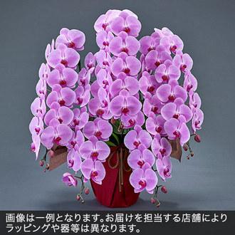 胡蝶蘭(ピンク)5本立ち 50〜60輪以上(蕾含む)