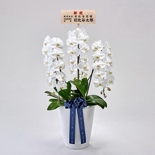 器の高さにこだわった胡蝶蘭(白)3本立ち【東京都内エリア限定】
