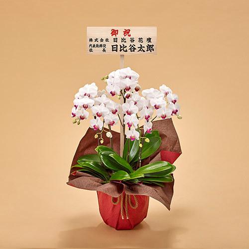 ミディ胡蝶蘭(赤リップ)5本立ち【東京都内エリア限定】