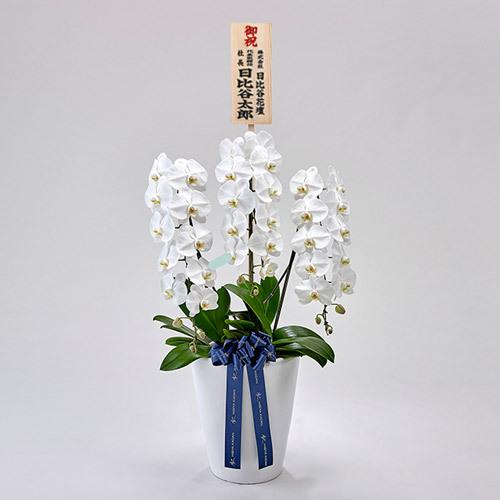 器の高さにこだわった胡蝶蘭(白)3本立ち【大阪市内エリア限定】