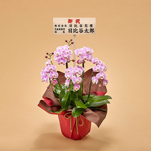 ミディ胡蝶蘭(ピンク)5本立ち【大阪市内エリア限定】