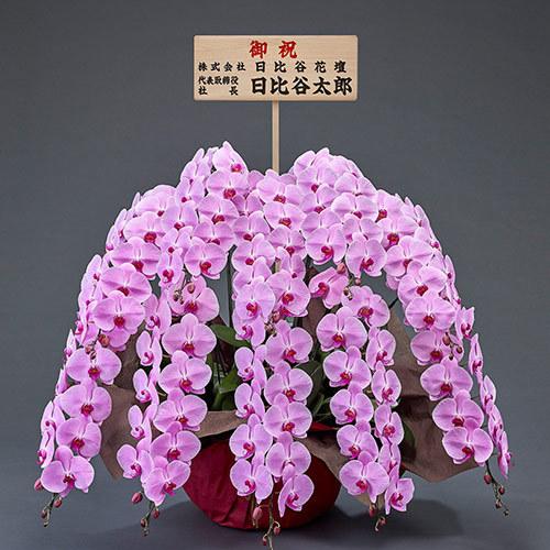 10本立ち胡蝶蘭(ピンク) 120輪以上(つぼみ含む)【大阪市内エリア限定】