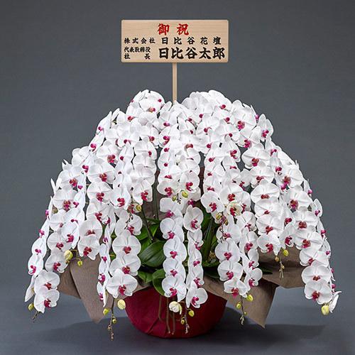 10本立ち胡蝶蘭(赤リップ) 120輪以上(つぼみ含む)【大阪市内エリア限定】