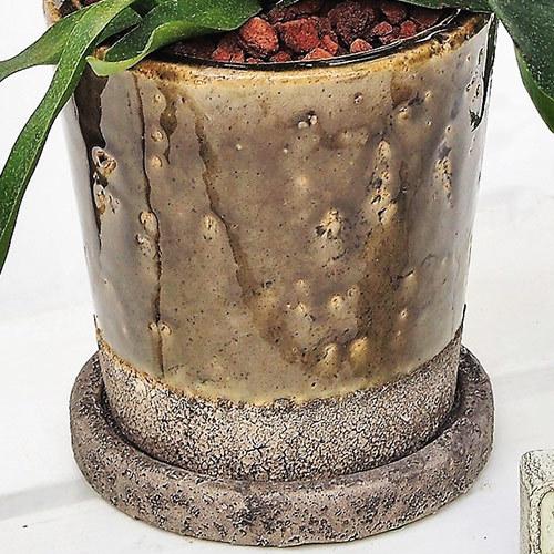 観葉植物「コウモリラン」