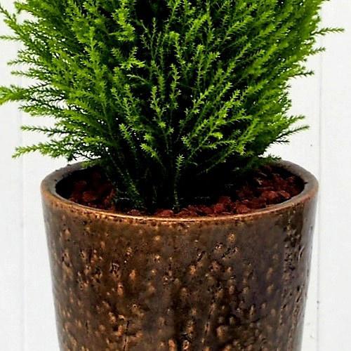 観葉植物「クレスト ウイルマ」