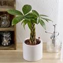 お手入れかんたん観葉植物「編込みパキラ(シリンダーホワイト)」