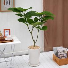 観葉植物「フィカス・ウンベラータ(L)」
