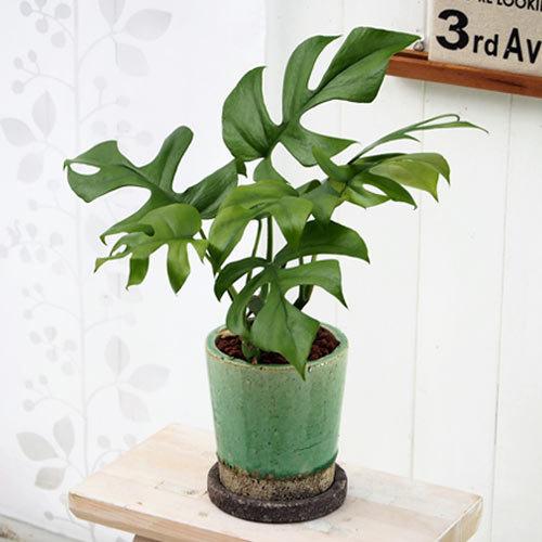 観葉植物「ヒメモンステラ(S)」