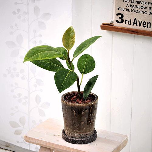 観葉植物「アルテシマゴム(S)」