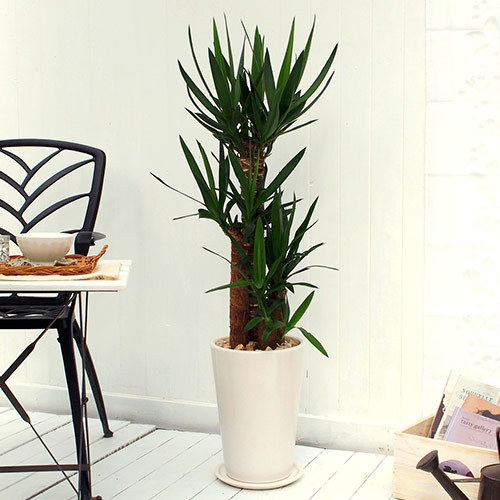 観葉植物「青年の木(L)・ホワイトポット」