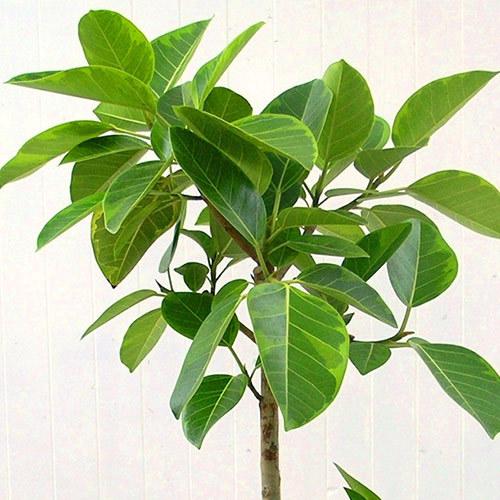 観葉植物「アルテシマゴム(L)・ホワイトポット」