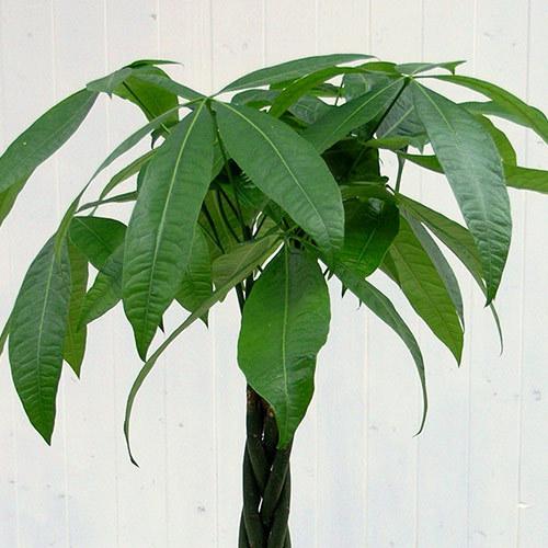 観葉植物「パキラ(L)・ホワイトポット」