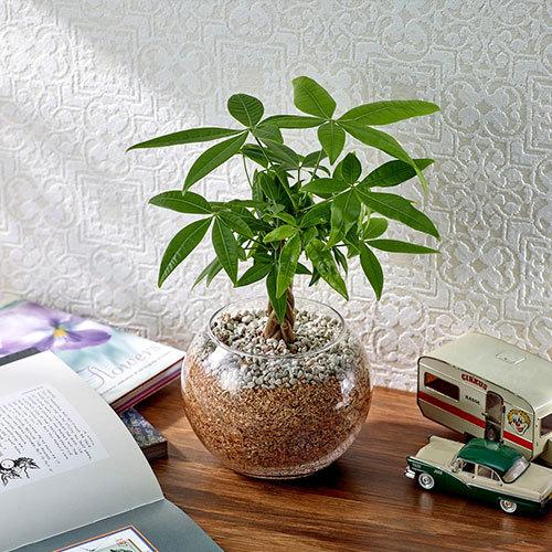 環境にやさしいエコスギ観葉植物「編み込みパキラ」
