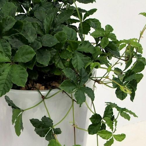 観葉植物 シュガーバイン「ジャルダン」