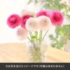 おうちで楽しむ季節の花「ラナンキュラス ピンク系」