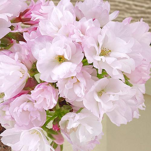 桜鉢「旭山 二股接ぎ木」(風呂敷包み)