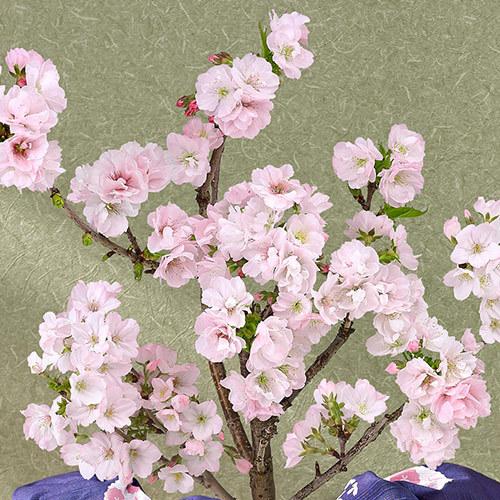 桜鉢「南殿桜」(風呂敷包み)