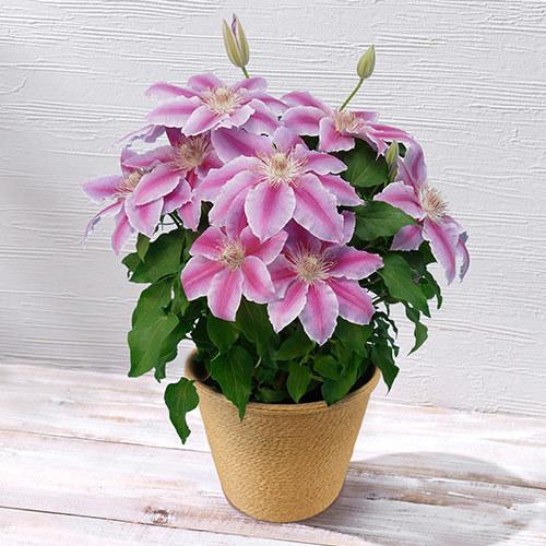 季節の花鉢「クレマチス・ピンク」