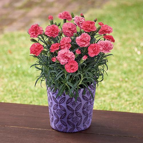 【日比谷花壇】母の日 カーネーション「さくらもなか」